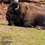 buffalo thumb