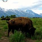 21 Buffalo at the Grand Tetons