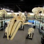 40 foot Humpback Whale