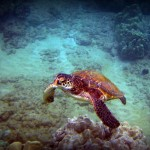 Green Sea Turtle with Border