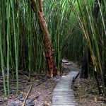 Trail through the bamboo forest