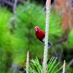 Tropical Red Bird