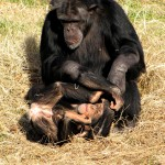10 Chimpanzes at Play