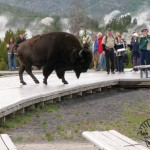 8 Buffalo at Old Faithful