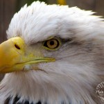 1 Eagle watermark