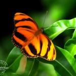 2 Butterfly 2 St. Louis Watermark