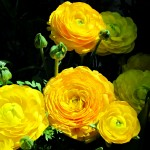 Yellow Persian Buttercup