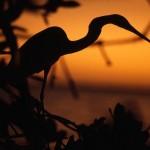 everglades-egret