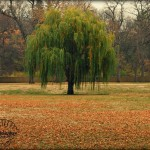 Weeping Willow in Fall