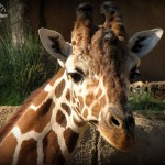 Number 13: Giraffe – Dallas Zoo