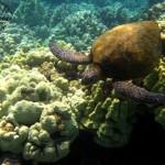 Number 4: Green Sea Turtle near the Kohala Coast