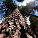 Mariposa Grove: Looking Up to the Giants