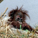 Wildlife Photography Number 22: Baby Orangutan