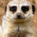 Wildlife Photography Number 19- Meerkat