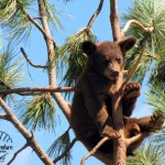Wildlife Photography Number 16- Black Bear Cub