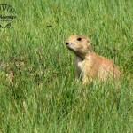 Wildlife Photography Number 15- Prairie Dog