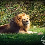 Wildlife Photography Number 12- Male Lion