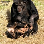 Wildlife Photography Number 10- Young Chimpanzee and Adult