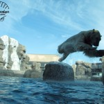Wildlife Photography Number 9 – Leaping Polar Bear