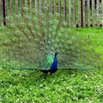 Wildlife Photography Number 4 – Peacock Trying to Attract a Mate