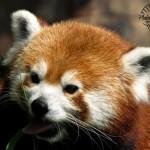 Wildlife Photography Number 3 – Red Panda