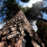 Flora Photography Number 21 – Giant Sequoia