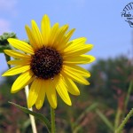 Flora Photography Number 22- Black Eyed Susan
