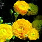 Flora Photography Number 20 – Yellow Persian Buttercup