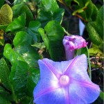 Flora Photography Number 19 – Purple Morning Glory