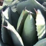 Flora Photography Number 18 – Sempervivum Tectorum