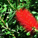 Flora Photography Number 17 – Bottle Brush Tree