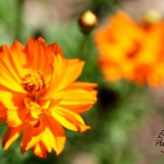 Flora Photography Number 11 – Orange Wildflower