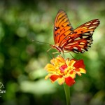 Flora Photography Number 10 – Butterfly getting nectar