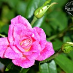 Flora Photography Number 9 – Pink Rose