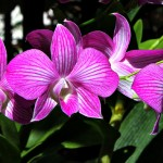 Flora Photography Number 6 – Purple Orchids