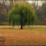 Flora Photography Number 5: Weeping Willow in Fall