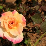 Tyler Rose Garden: The Rose Capital