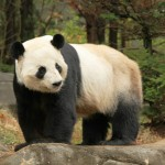 Atlanta Zoo: They have Panda cubs too!